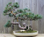 LAH_Bonsai_MG_1976