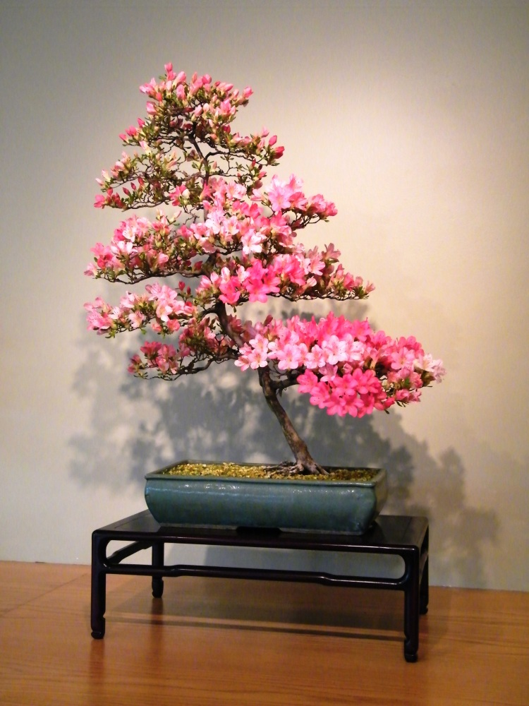 David Knittle: For the Love of Azalea Bonsai