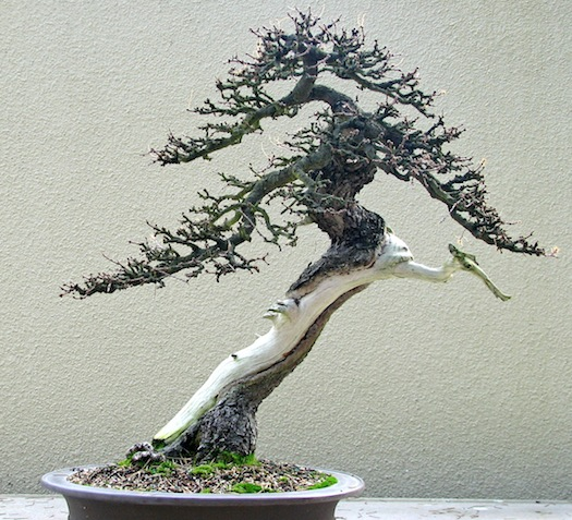 Jan. 27 - Wiring Deciduous Bonsai