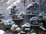 snow_bonsai_trees