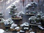 snow_bonsai_trees
