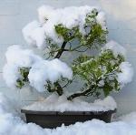 SnowBonsai